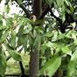개가시나무