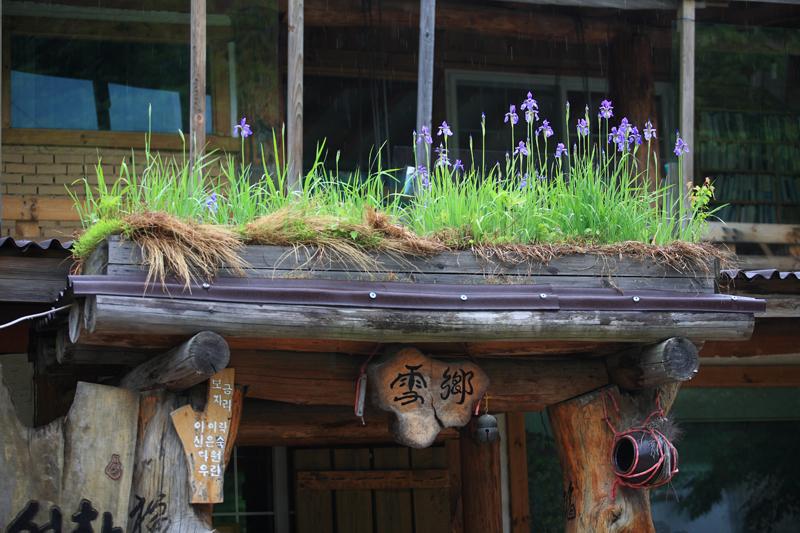 설피산장 출입문_설피밭 설피산장 출입문 지붕에 탐스럽게 피어난 붓꽃이 싱그럽다. 집에서도 자연미가 물씬 풍긴다.