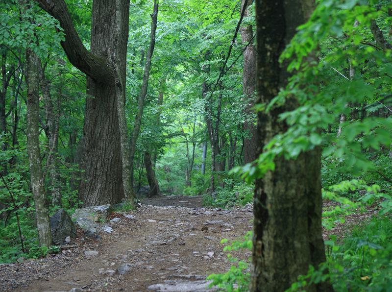 활엽수_강선마을 가는 길에 아름드리 활엽수가 길목을 지키고 있다. 길의 끝은 항상 녹음 짙은 숲이 벽처럼 막아선다.