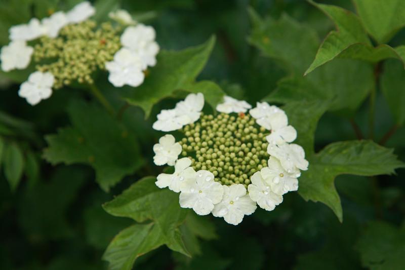 백담나무꽃_장맛비에 촉촉이 젖은 백담나무꽃. 곰배령이 가까워지면 들꽃이 먼저 인사를 하며 아는 체를 한다.